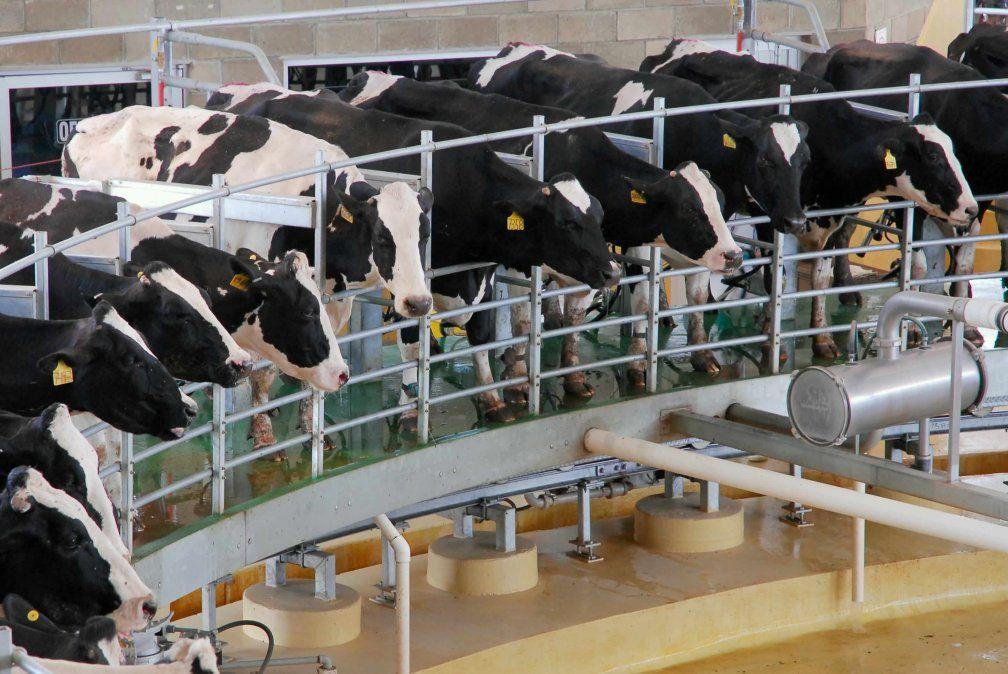 La leche que producen los tamberos no pudo ser procesada en las plantas lácteas este lunes.