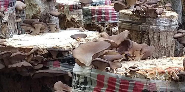 Gírgolas patagónicas: Una cooperativa las produce sobre tocones de álamos en el Alto Valle