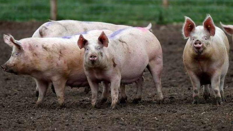Buenas y malas noticias para la Argentina por la crisis sanitaria del cerdo