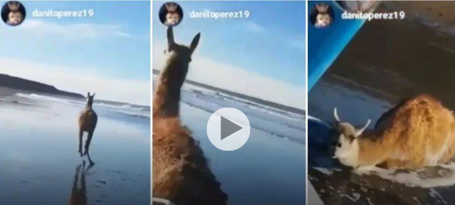 Se grabaron torturando a un guanaco y lo compartieron en las redes sociales
