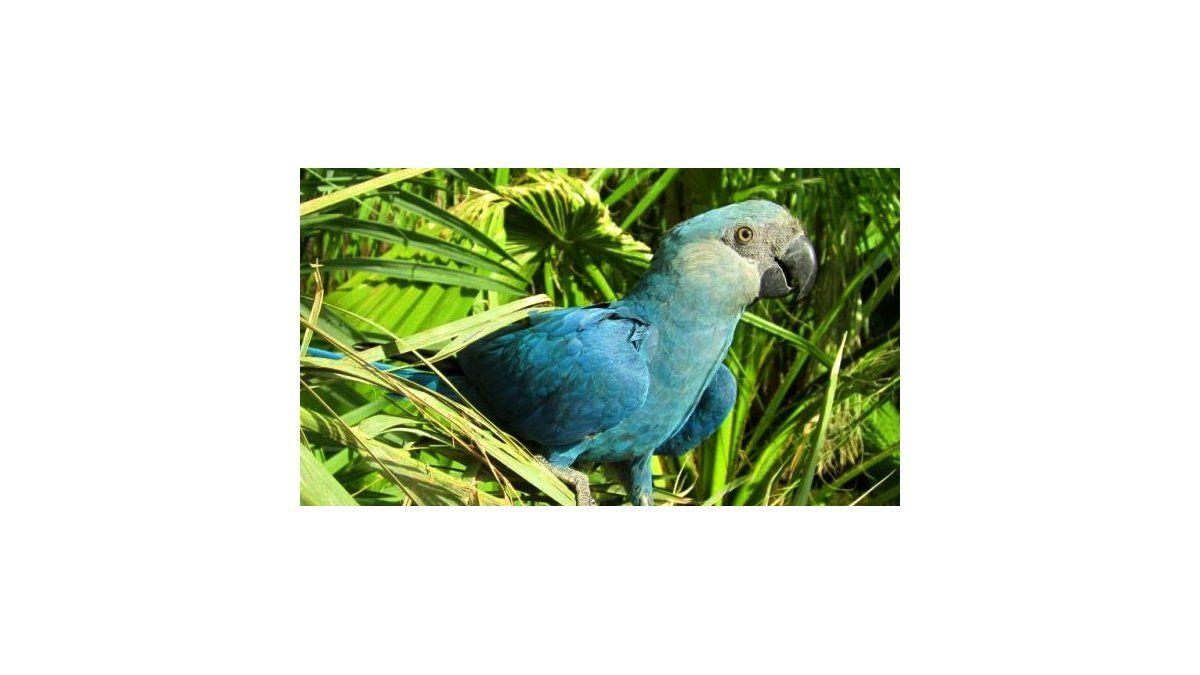 Se declara extinto el guacamayo azul, especie que le dio vida a la película 'Río' - Aire de Santa Fe - La Gran Radio