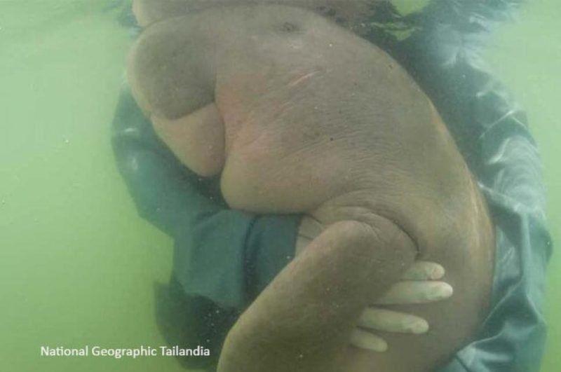 Tras ingerir plástico murió Marian, una cría de mamífero dugongo que está en peligro de extinción