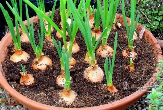 Cómo tener una fuente interminable de ajo en casa