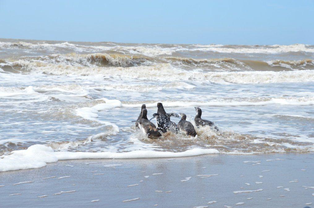 Un momento único: el regreso al mar de siete pingüinos rescatados