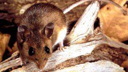 cierran los accesos a lagos en la cordillera patagonica por una invasion de ratas