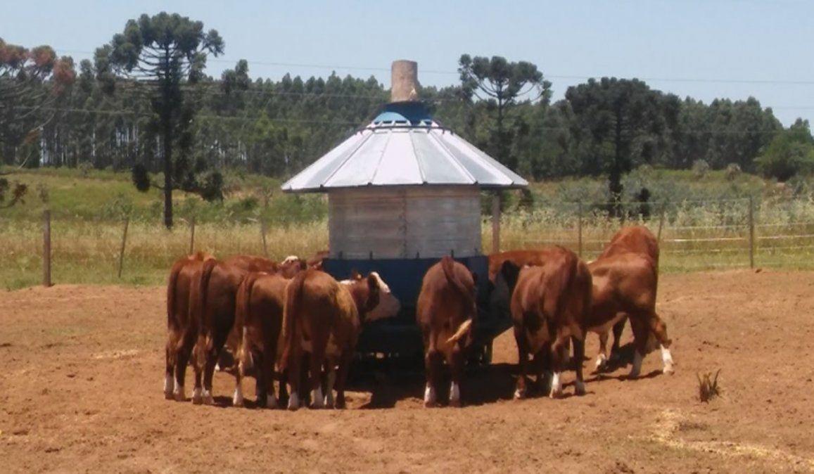 Bovinos con más espacio y bienestar: ¿De qué se trata el feedlot ecológico que propone el INTA?