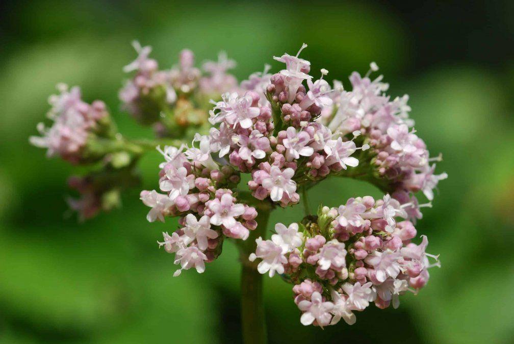 Estrés: 6 plantas medicinales que ayudan a aliviarlo