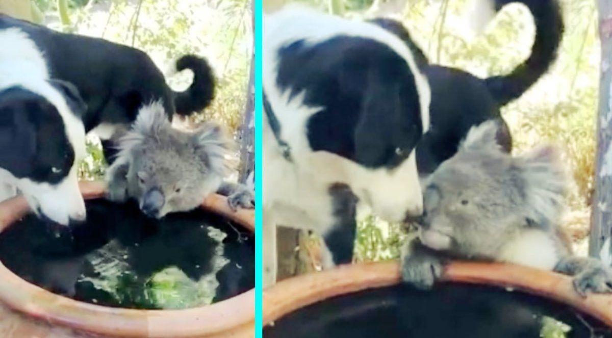 Incendios en Australia: el beso entre un perro y un koala que se volvió viral