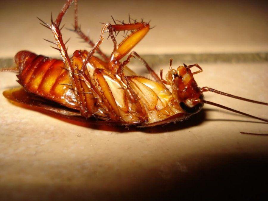 ¿Tenés una invasión de cucarachas en casa? Qué hacer para combatirlas de forma rápida y sencilla