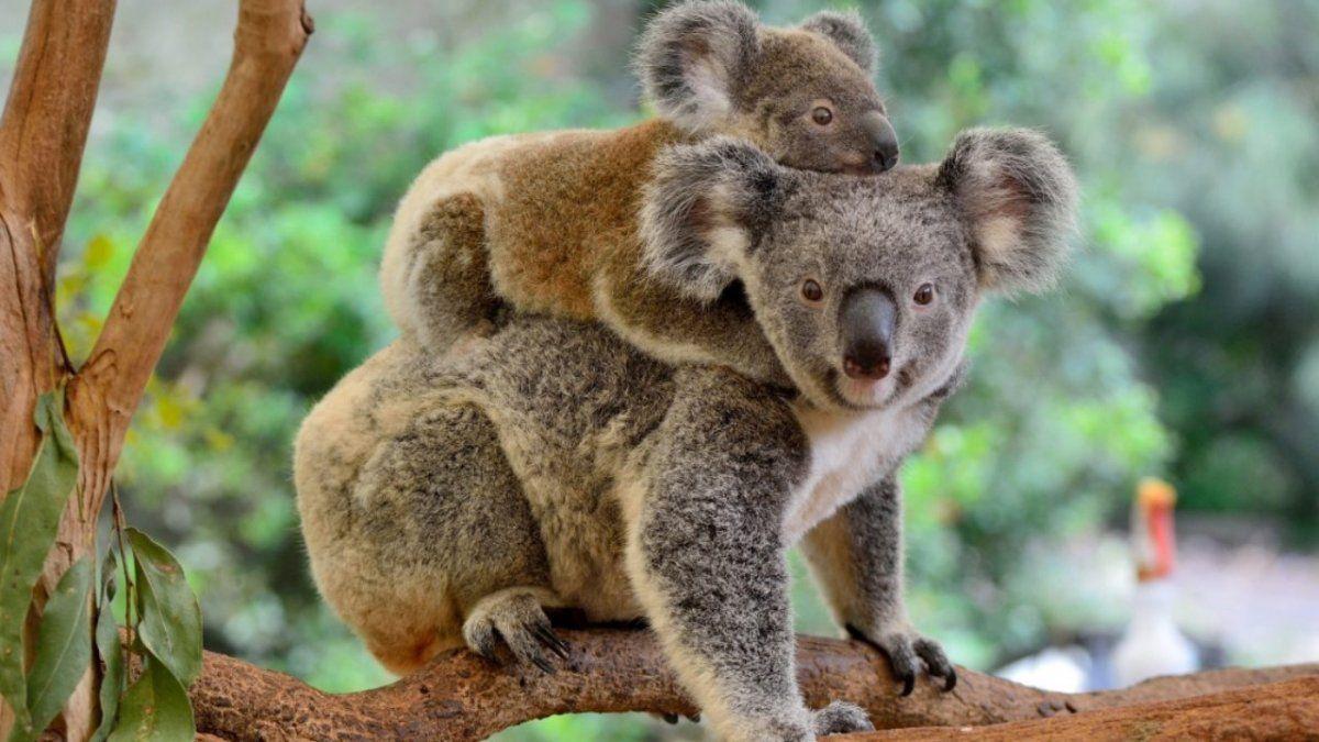 Una reportera se traga una leyenda urbana y viste una armadura para hacer un reportaje sobre koalas venenosos
