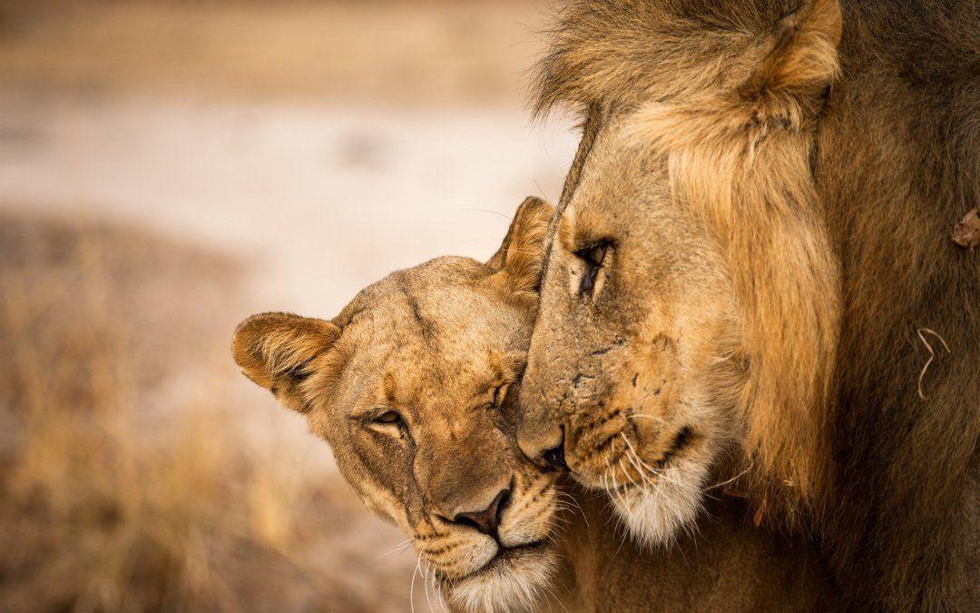 Una leona murió al tirarse al foso del zoo: su pareja había sido sacrificada dos semanas antes