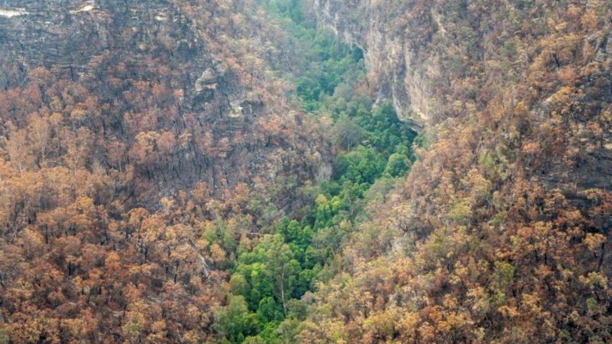 Bomberos australianos salvan de las llamas un bosque de árboles dinosaurio de cientos de millones de años