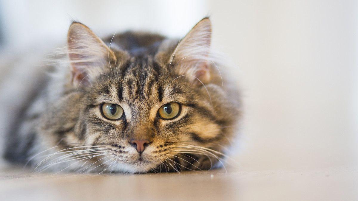 Los gatos perciben a sus dueños como padres y los extrañan cuando no están