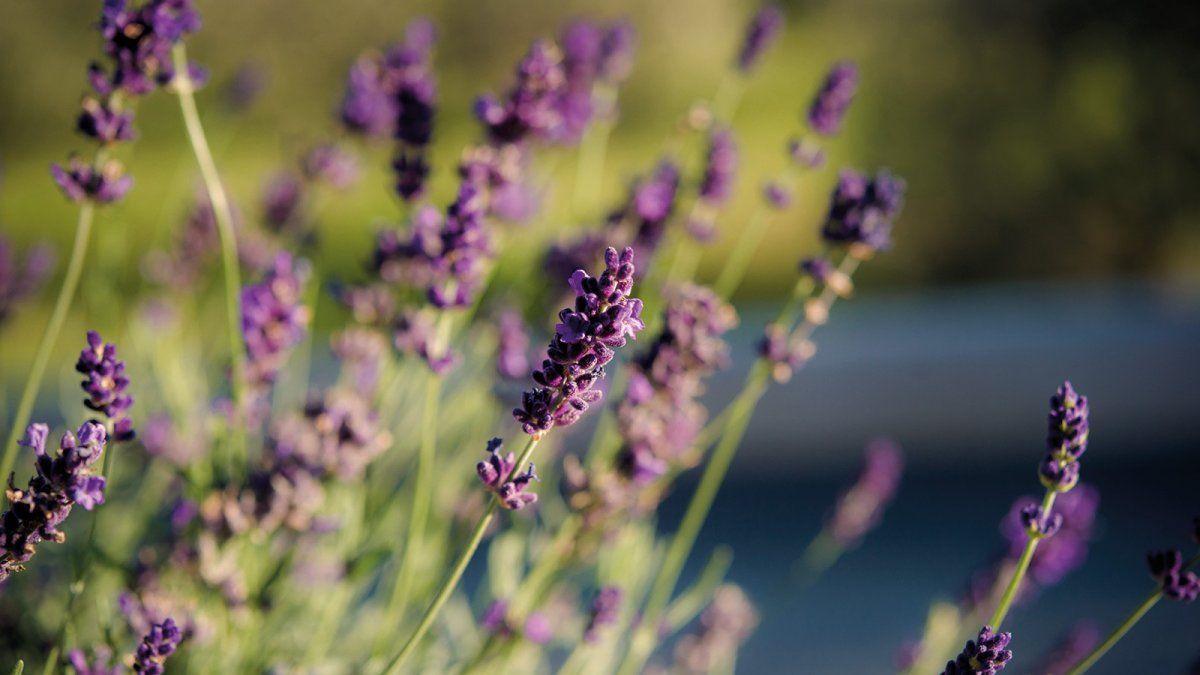 Plantas para alejar a los insectos del hogar.