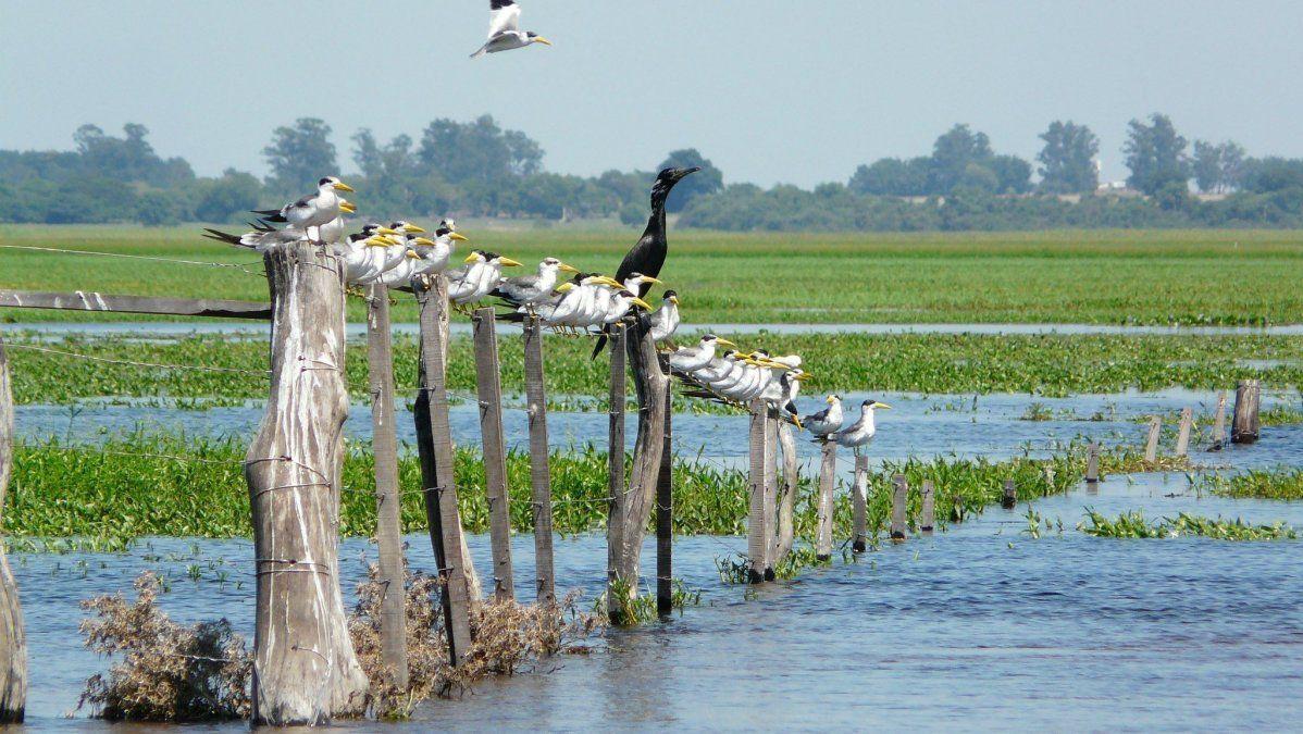 Las aves forman parte característica de uno de los humedales más conocidos de Argentina: los Esteros del Iberá.