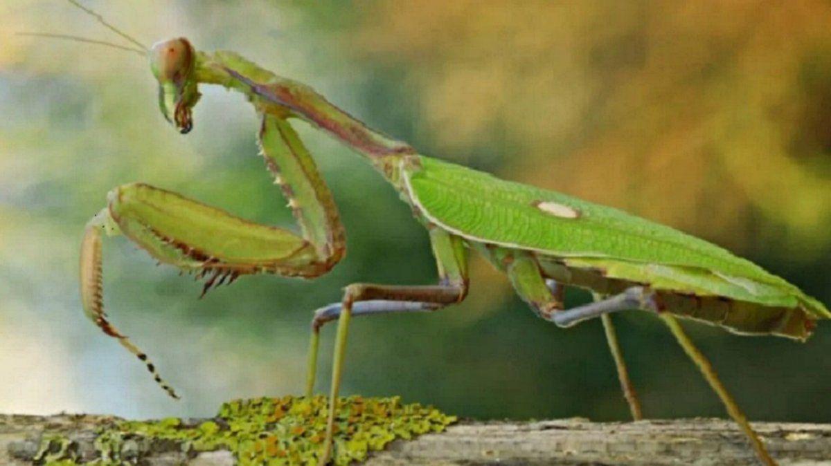 Mantis devora a una avispa asesina tras feroz batalla