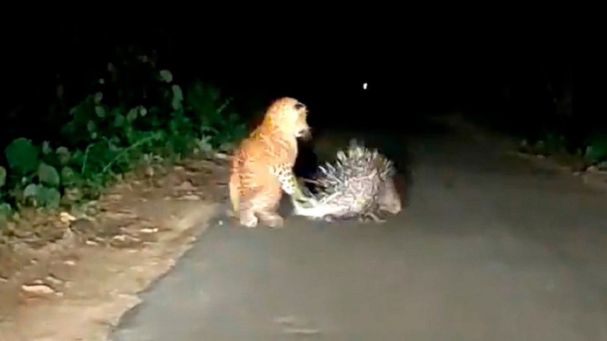 Video: el ataque de un leopardo a un puercoespín que se hizo viral