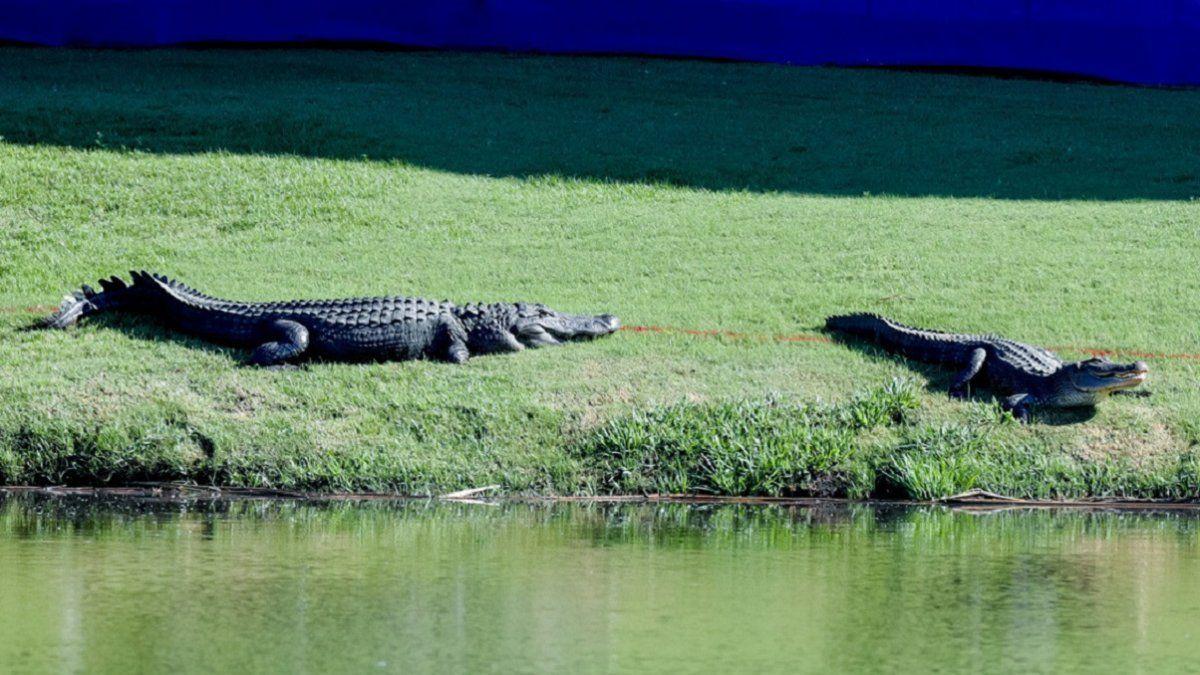 Video viral: dos cocodrilos pelean en un campo de golf
