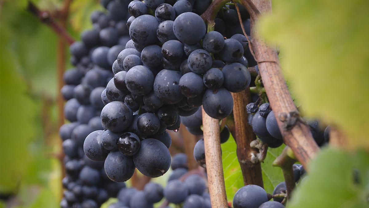 El Pinot Noir escribe su historia al sur del mundo
