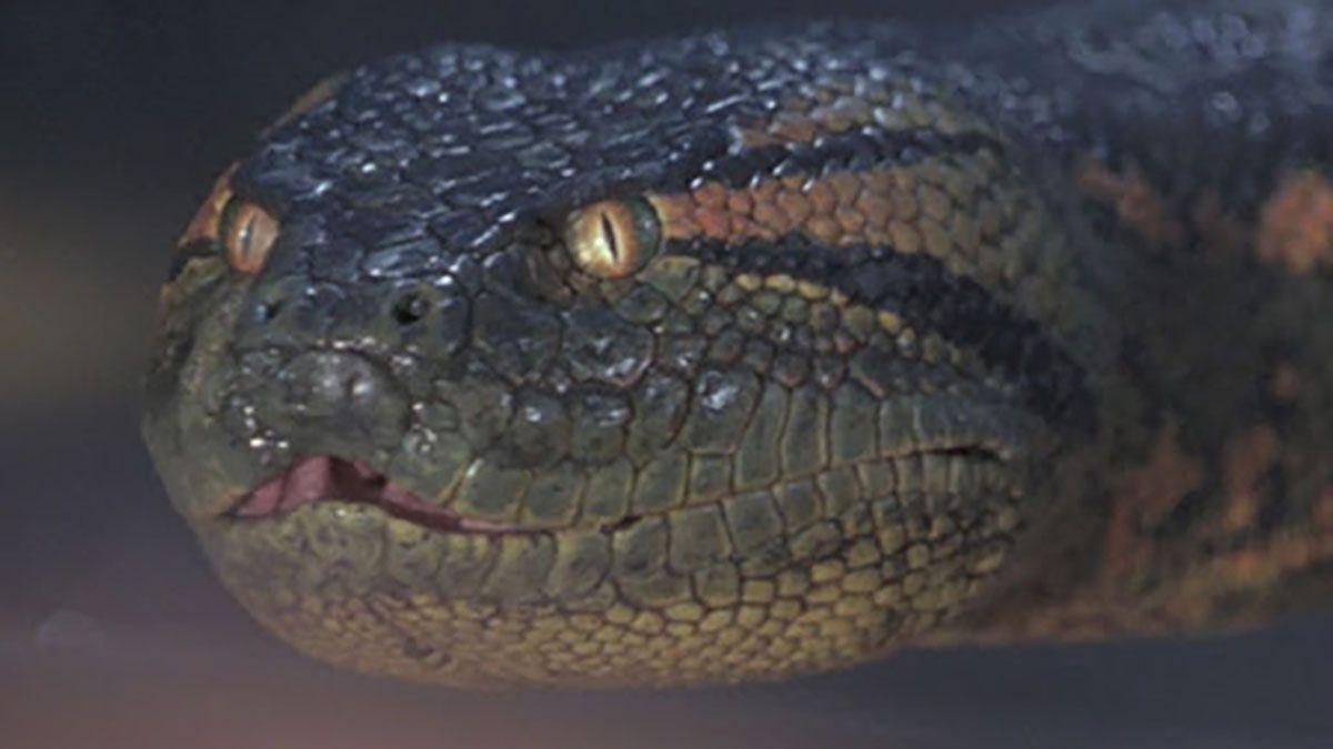 La anaconda es una especie de serpiente constrictora de la familia de las boas. Se hallan en los ríos del trópico de Sudamérica. La más grande puede medir más de 7 metros.
