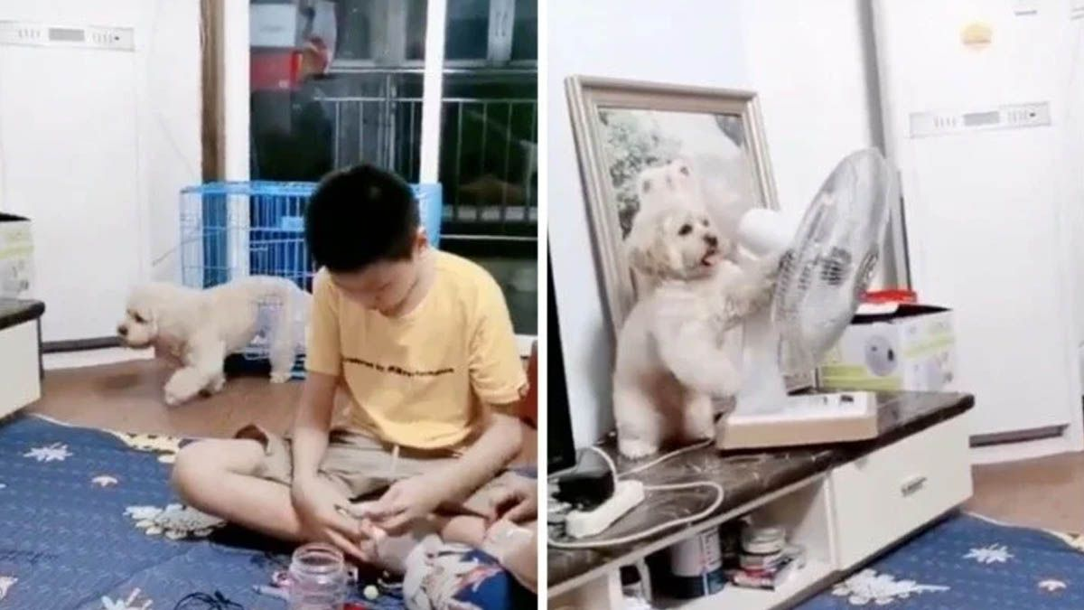 Video: un perro sale de su jaula, acomoda ventilado hacia él y regresa a encerrarse