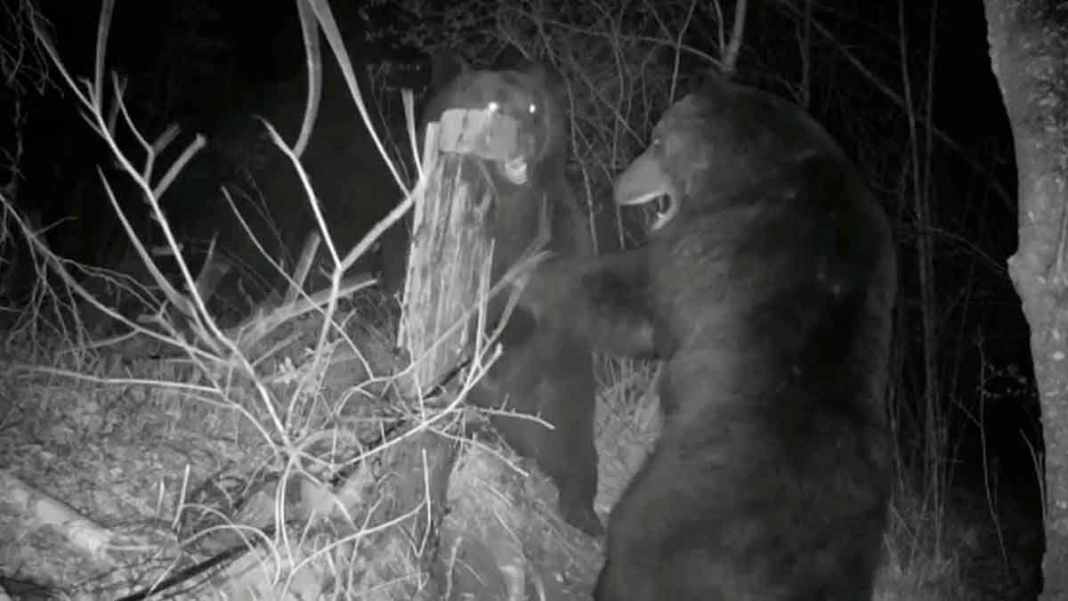 Guerra de osos