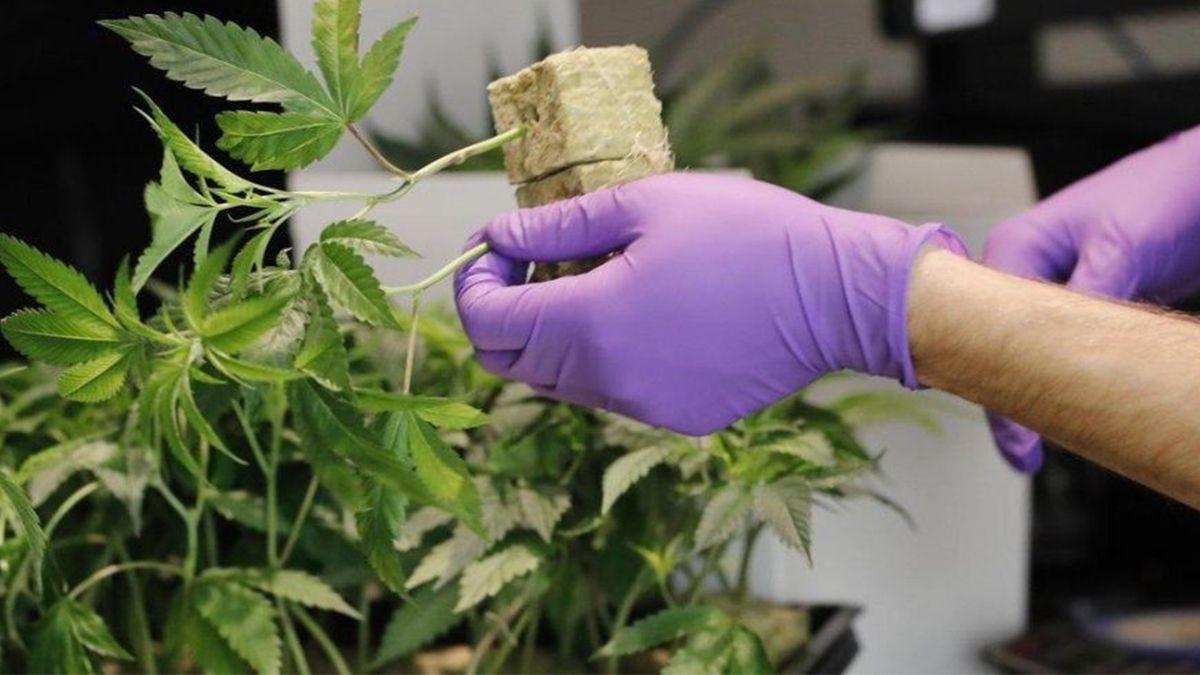 El Gobirno avanza en la regulación de la ley de Cannabis Medicinal.