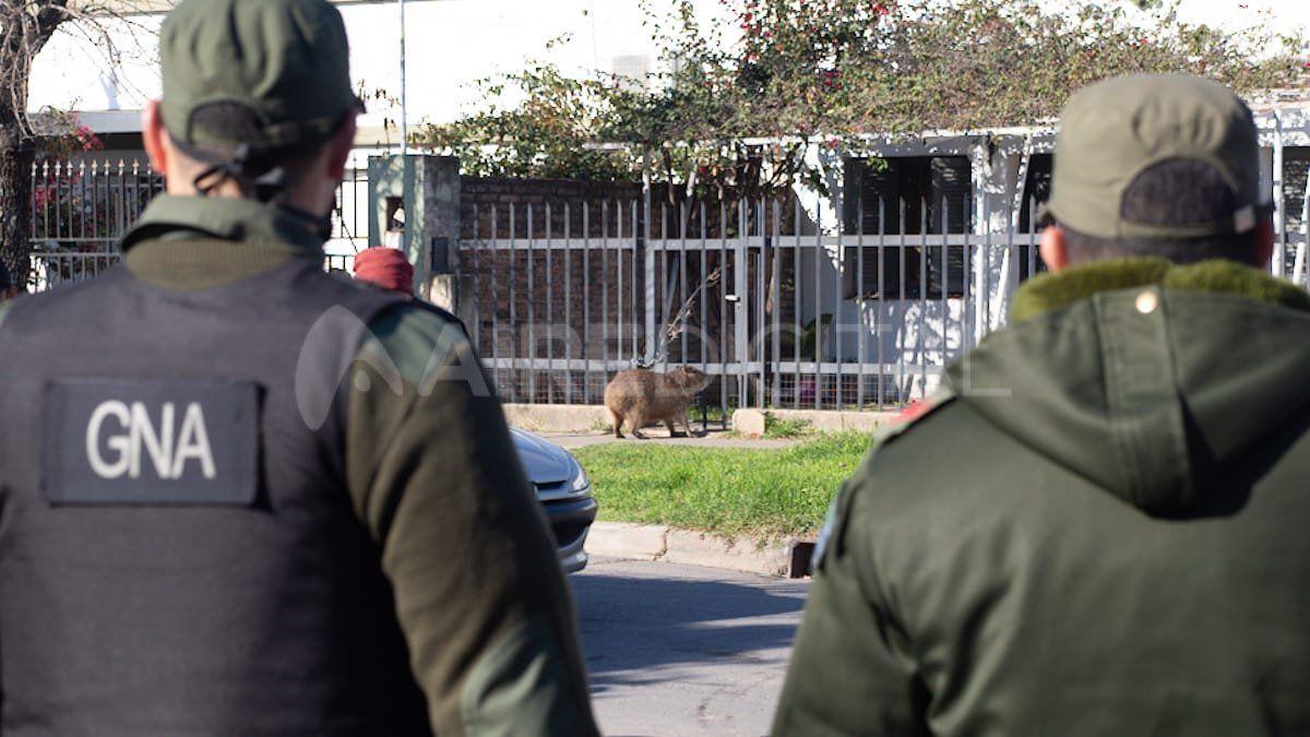 La Gendarmería llegó al barrio para llevarse al Pancho pero se fue sin el carpincho.