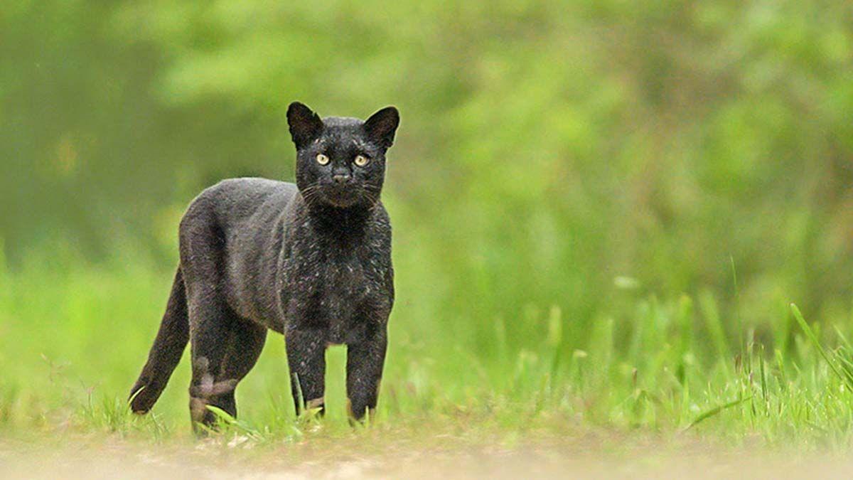 La presencia del animal fue detectada a través de las cámaras-trampas del espacio verde.