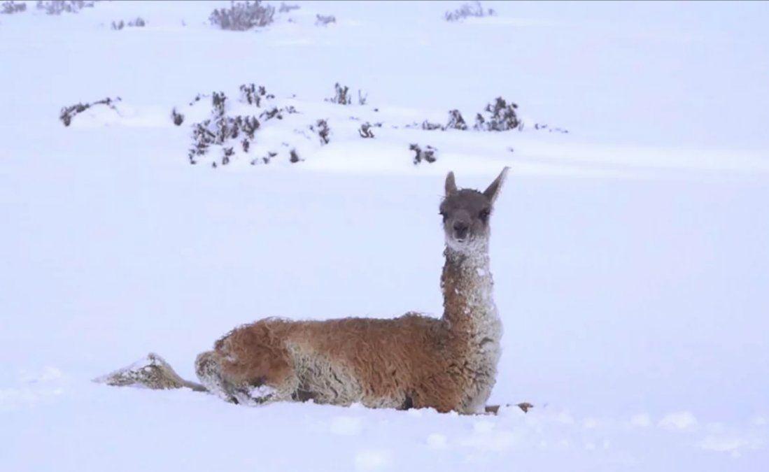 Miles animales murieron a causa del fuerte temporal de nieve en la provincia de Chubut.