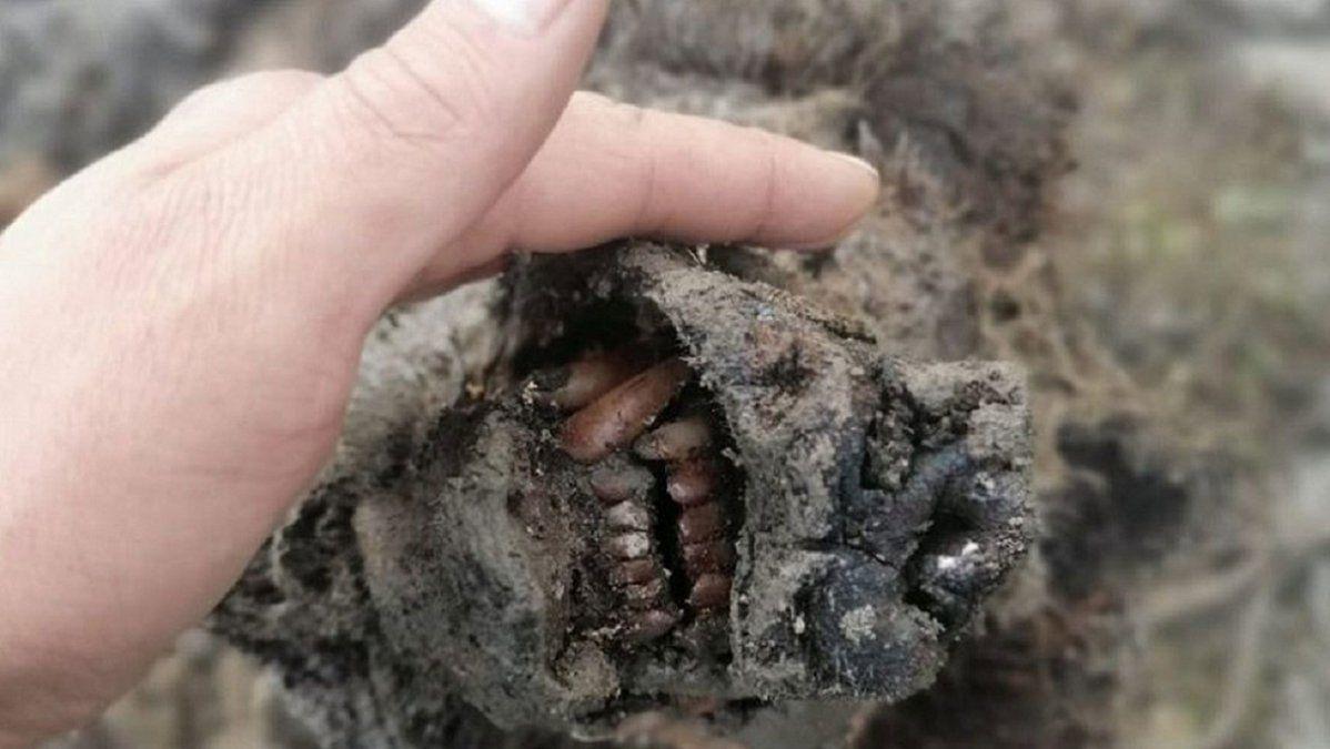 Fotos: descubren en Siberia el primer cuerpo de un oso extinto hace 15.000 años, conservado
