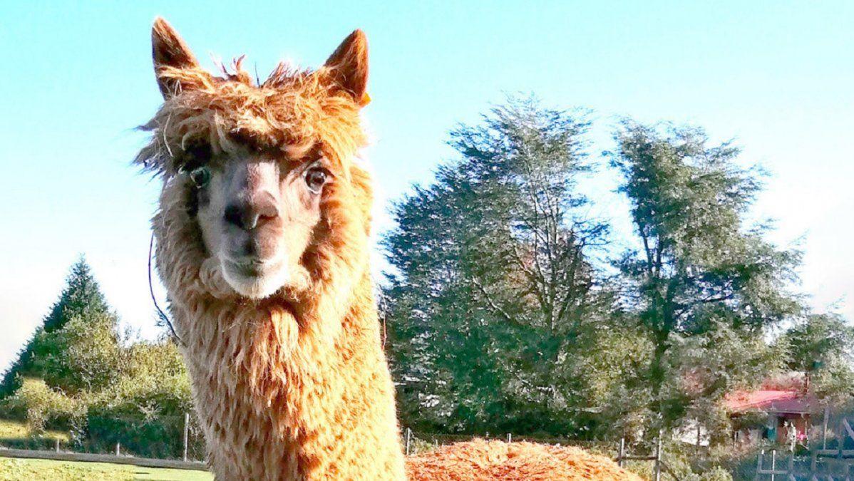 Qué es W25, el poderoso superanticuerpo de alpaca capaz de neutralizar el coronavirus