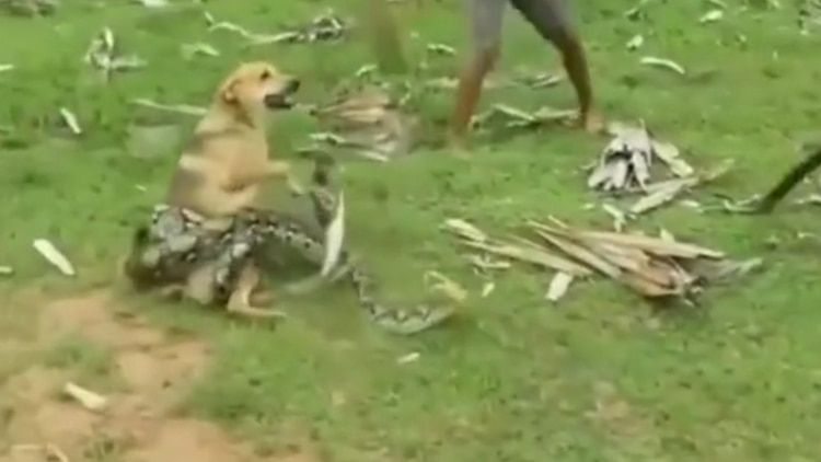 La brutal lucha a muerte de un perro contra una cobra para salvar a su familia en Filipinas