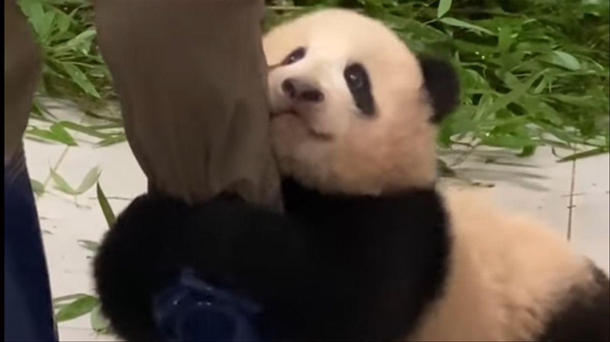 Viral: un oso panda bebé abraza a su cuidador para que no lo abandone.