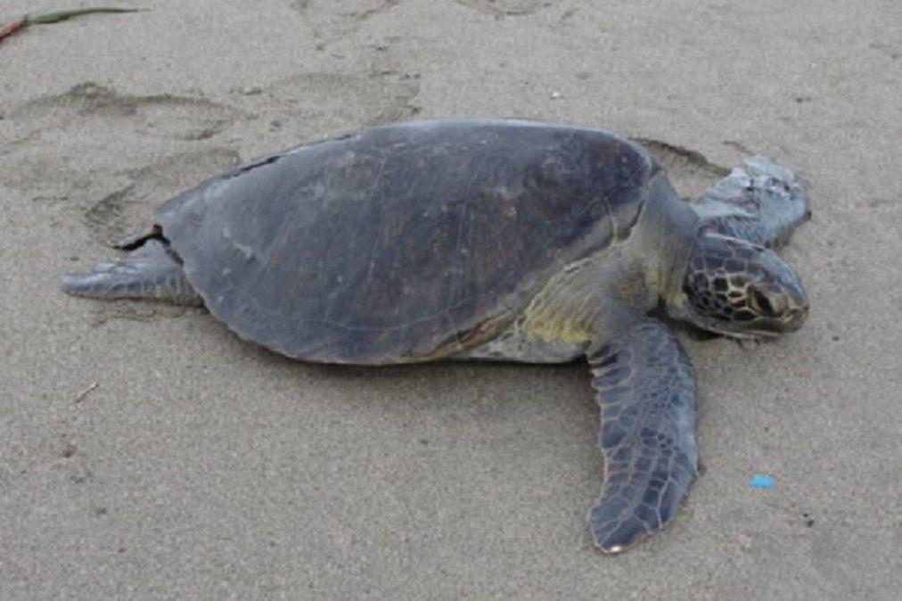 Video: así liberan en México a tortugas intoxicadas por una marea roja