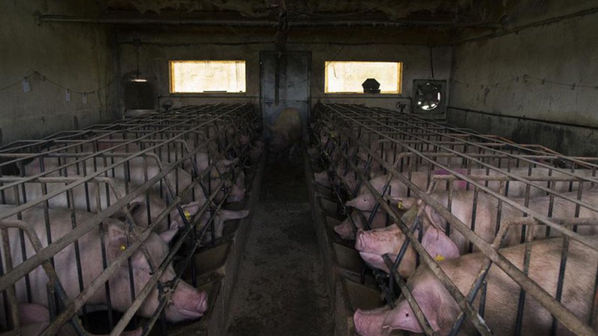 El acuerdo entre Argentina y China implicainstalar megacriaderosde cerdos en el país.