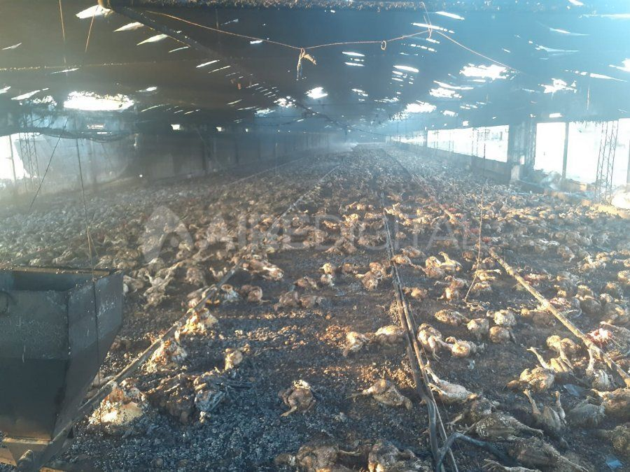 Los pollos murieron dentro del galpón de engorde.
