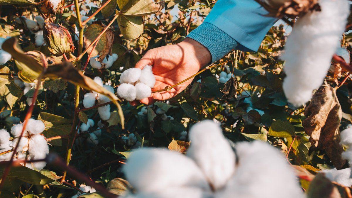 Los beneficiarios son productores asociados de Ucal (Unión de Cooperativas Agrícolas Algodoneras) en Chaco.
