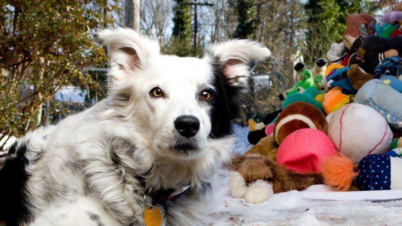 Muere 'el perro más inteligente del mundo' que sabía más de 1.000 sustantivos
