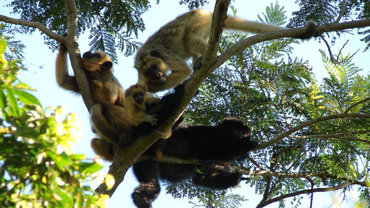 Los monos aulladores también son una especie que ha sido capturada para ser vendida como mascota.