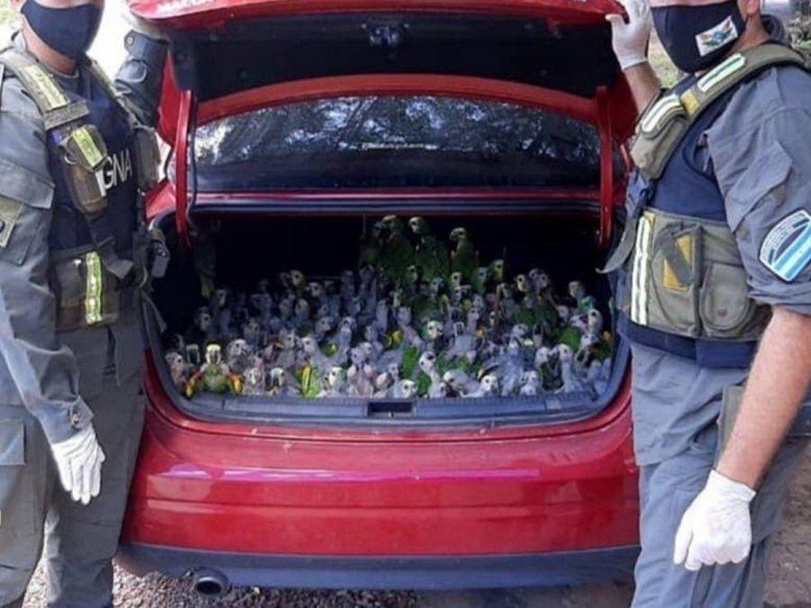 Fueron detenidos con 216 loros habladores en el baúl del auto