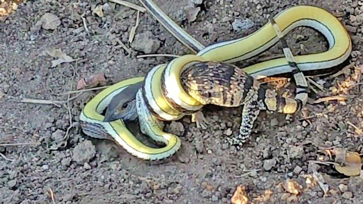 Video: una cría de lagarto lucha a muerte contra una serpiente venenosa