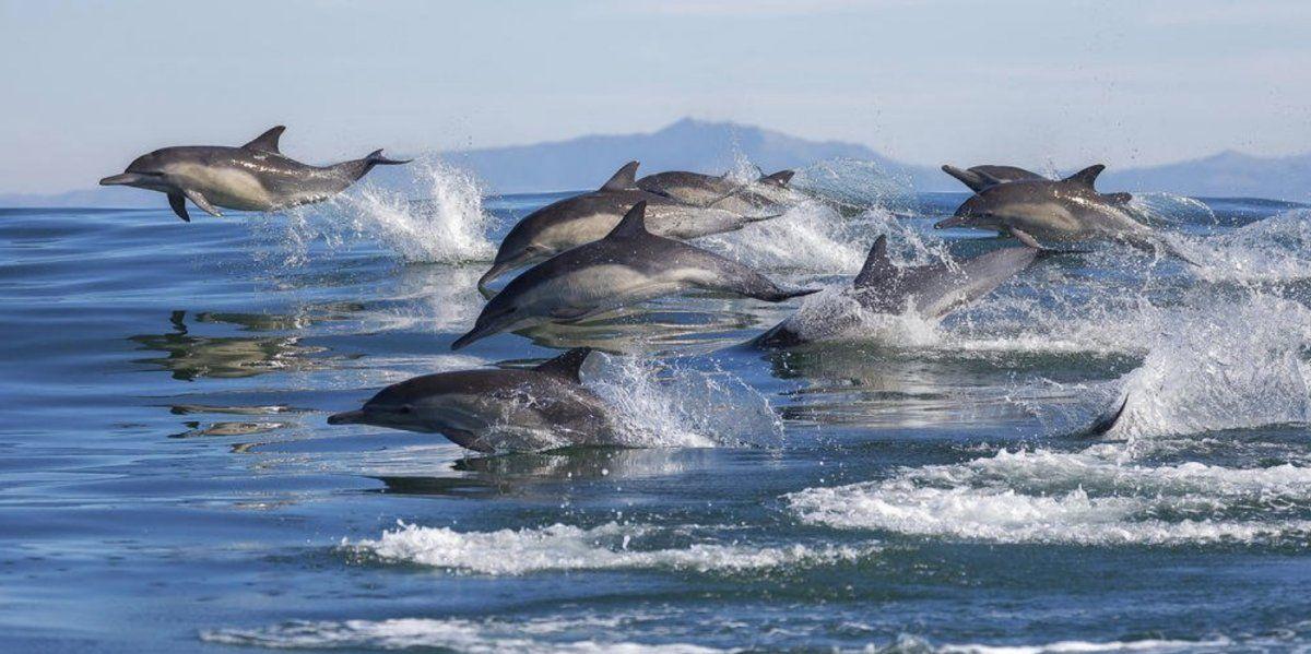 Gran espectáculo de delfines en la costa de California.