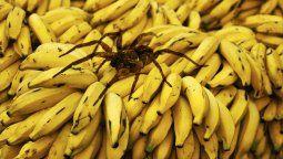 altText(Video: una enorme araña bananera apareció en Mar del Plata)}