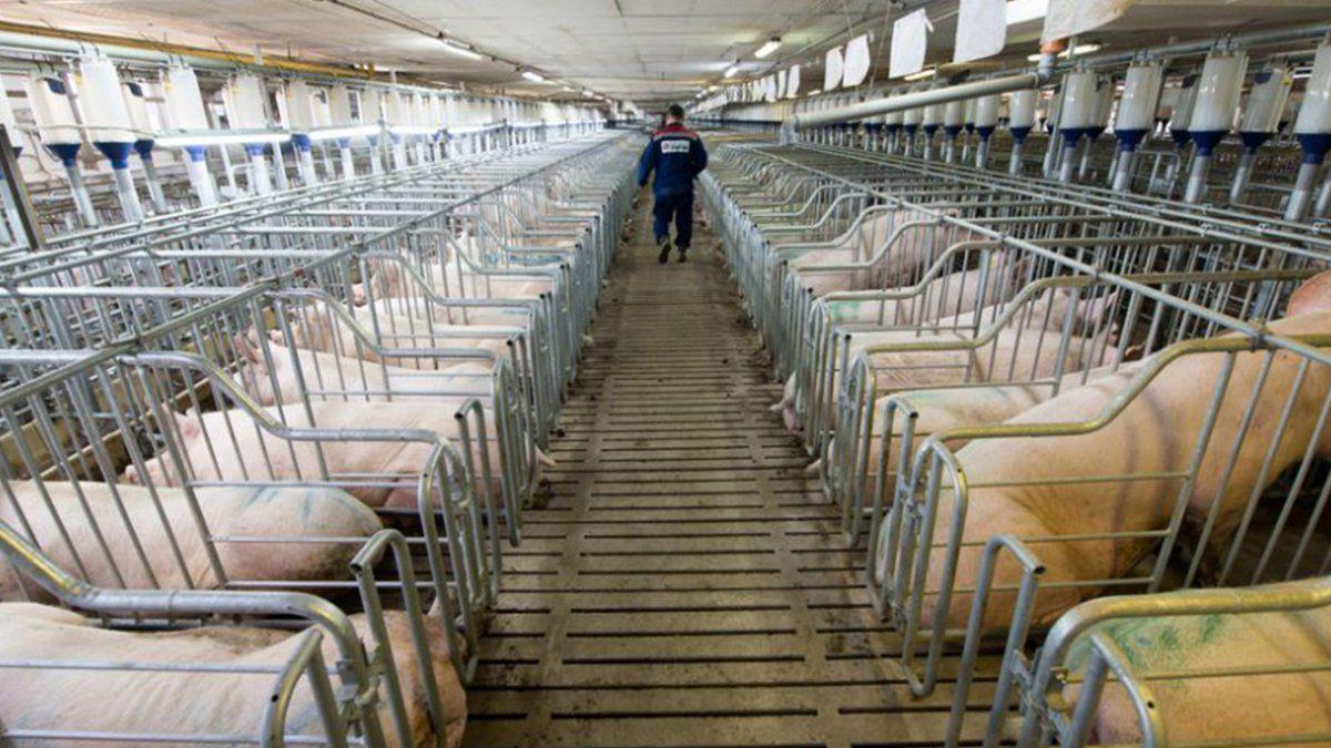 Las granjas son de gran escala y con un plantel de 12.500 madres.