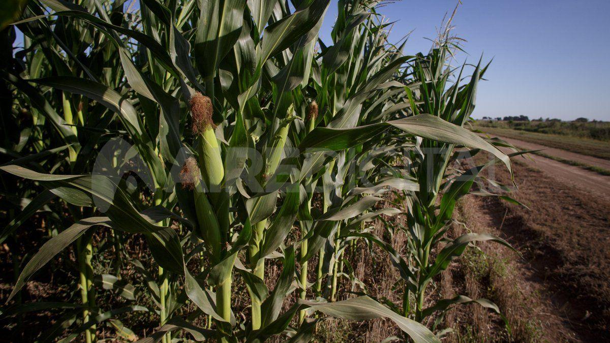 La Bolsa de Comercio de Buenos Aires elevó en dos millones de toneladas la producción de maíz prevista.