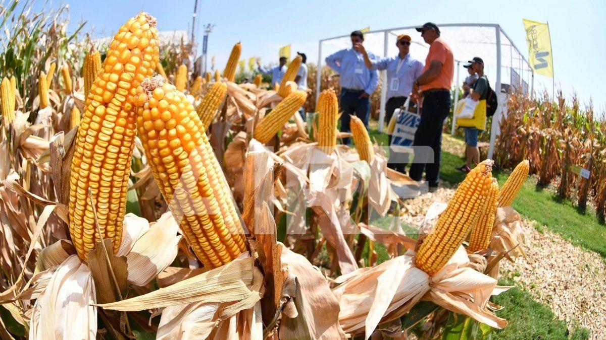 El Ministerio de Agricultura proyectó una producción de 59 millones de toneladas del grano amarillo para la campaña 20/21.
