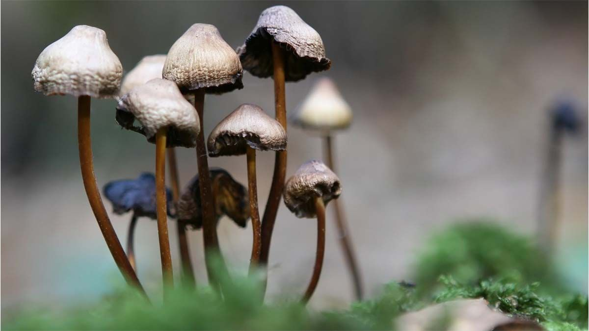 Se inyecta por vía intravenosa una infusión de hongos alucinógenos y el efecto fue insólito