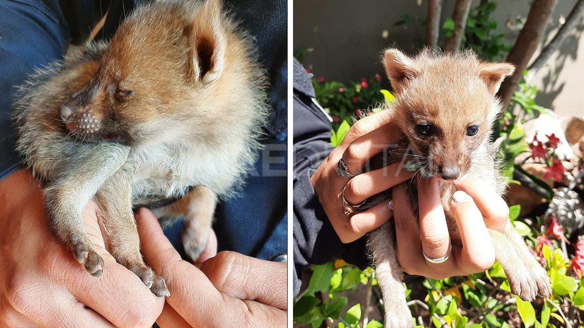 Un vecino encontró a los dos animales y dio aviso a la policía. Los efectivos comprobaron que se trataba de dos crías de zorro gris patagónico.
