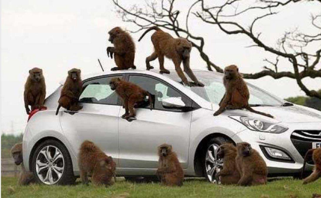 El hecho ocurrió en Londres. Decenas de monos desataron un escándalo en el medio de un safari.